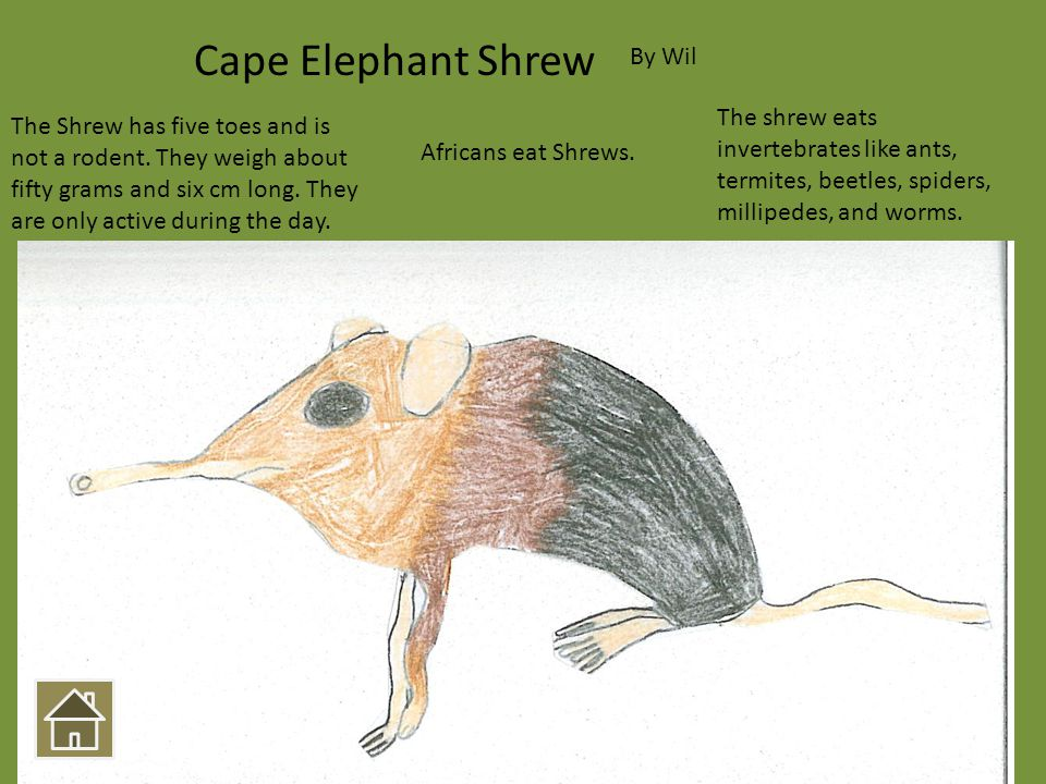 The Shrew has five toes and is not a rodent. They weigh about fifty grams and six cm long. They are only active during the day. Africans eat Shrews. T