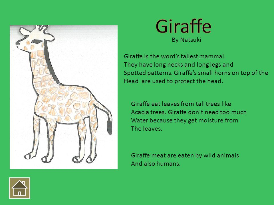 Giraffe is the words tallest mammal. They have long necks and long legs and Spotted patterns. Giraffes small horns on top of the Head are used to prot