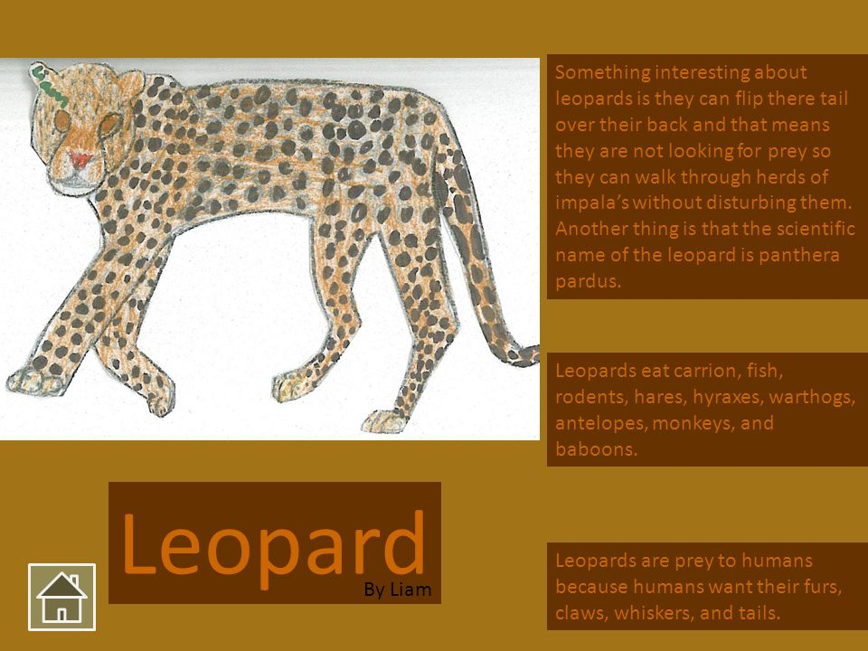 Leopard Something interesting about leopards is they can flip there tail over their back and that means they are not looking for prey so they can walk through herds of impalas without disturbing them.