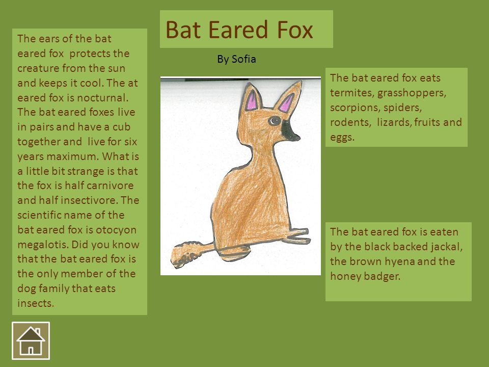 The bat eared fox eats termites, grasshoppers, scorpions, spiders, rodents, lizards, fruits and eggs. The bat eared fox is eaten by the black backed j