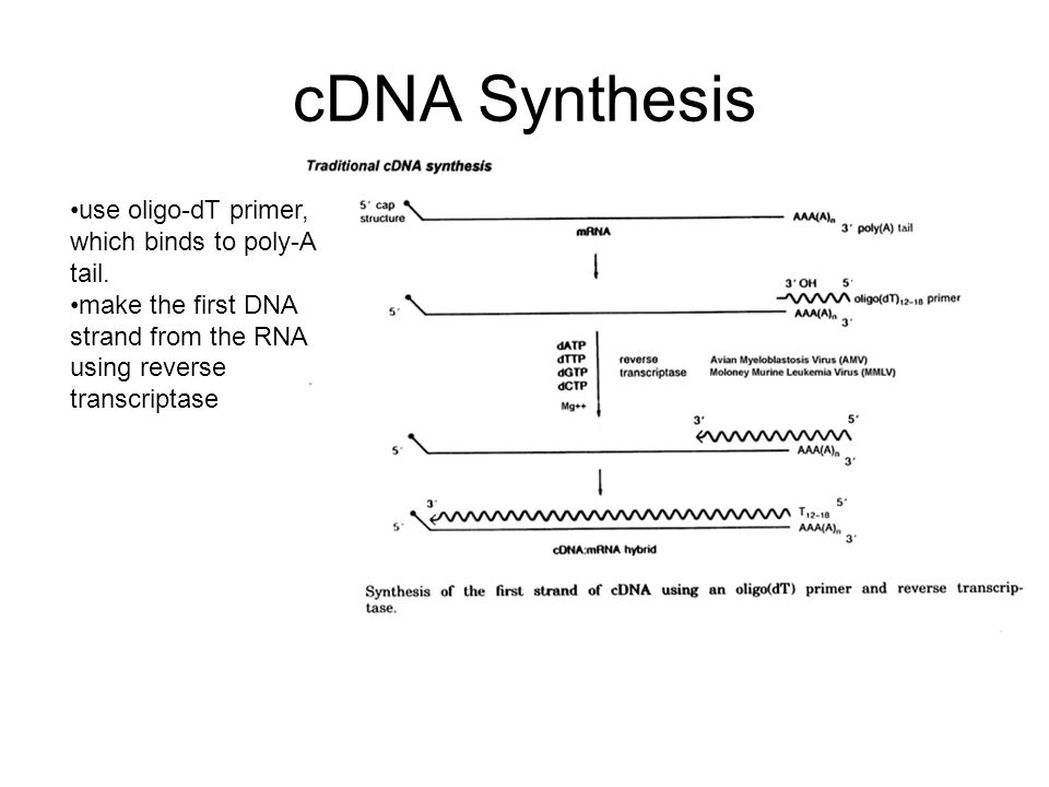 cDNA Synthesis use oligo-dT primer, which binds to poly-A tail. make the first DNA strand from the RNA using reverse transcriptase