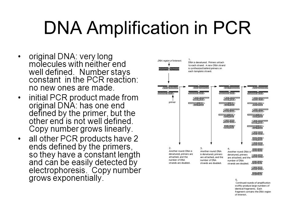 DNA Amplification in PCR original DNA: very long molecules with neither end well defined. Number stays constant in the PCR reaction: no new ones are m