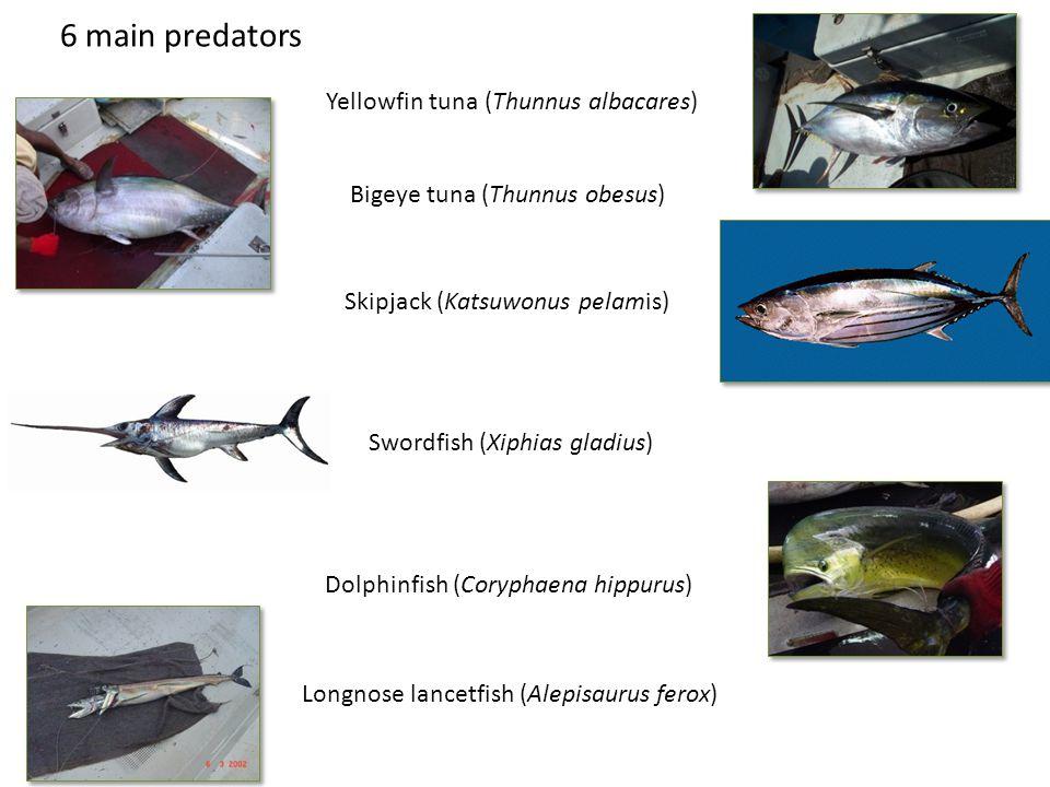 6 main predators Yellowfin tuna (Thunnus albacares) Bigeye tuna (Thunnus obesus) Skipjack (Katsuwonus pelamis) Dolphinfish (Coryphaena hippurus) Longnose lancetfish (Alepisaurus ferox) Swordfish (Xiphias gladius)
