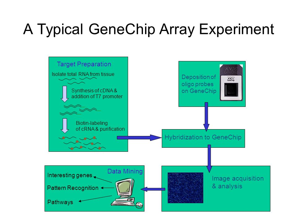 A Typical GeneChip Array Experiment Target Preparation Isolate total RNA from tissue Synthesis of cDNA & addition of T7 promoter Biotin-labeling of cR