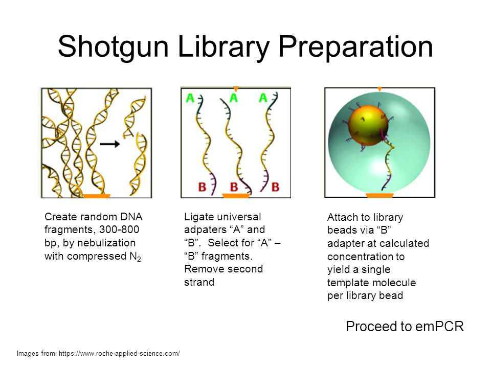 Shotgun Library Preparation Create random DNA fragments, 300-800 bp, by nebulization with compressed N 2 Ligate universal adpaters A and B. Select for