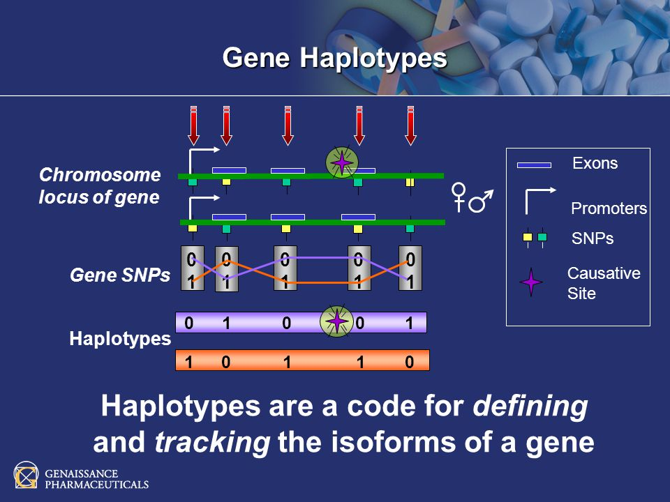Exons Promoters SNPs Chromosome locus of gene Gene SNPs 0101 0101 0101 0101 0101 Haplotypes 0 1 0 0 1 1 0 1 1 0 Causative Site Haplotypes are a code for defining and tracking the isoforms of a gene Gene Haplotypes