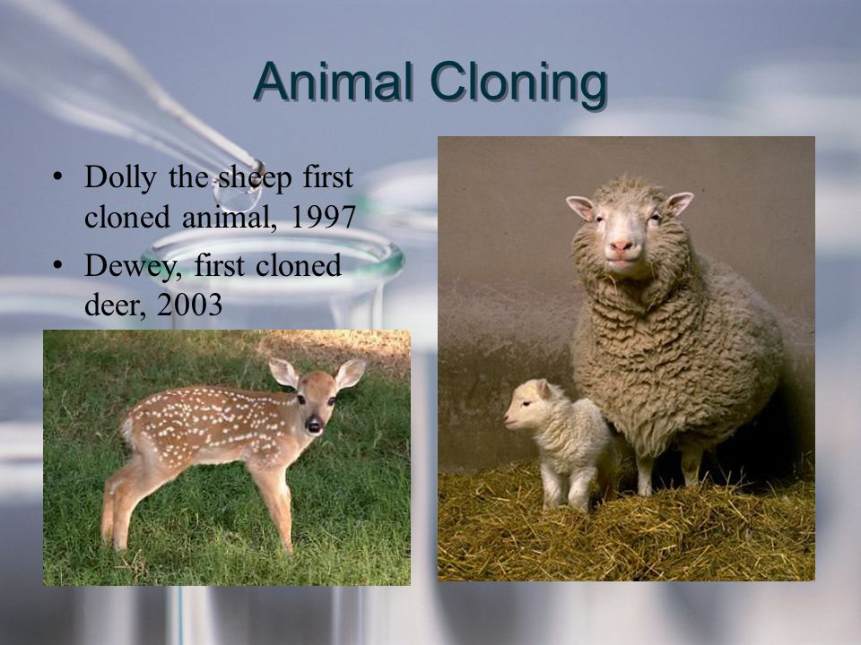 Animal Cloning Dolly the sheep first cloned animal, 1997 Dewey, first cloned deer, 2003