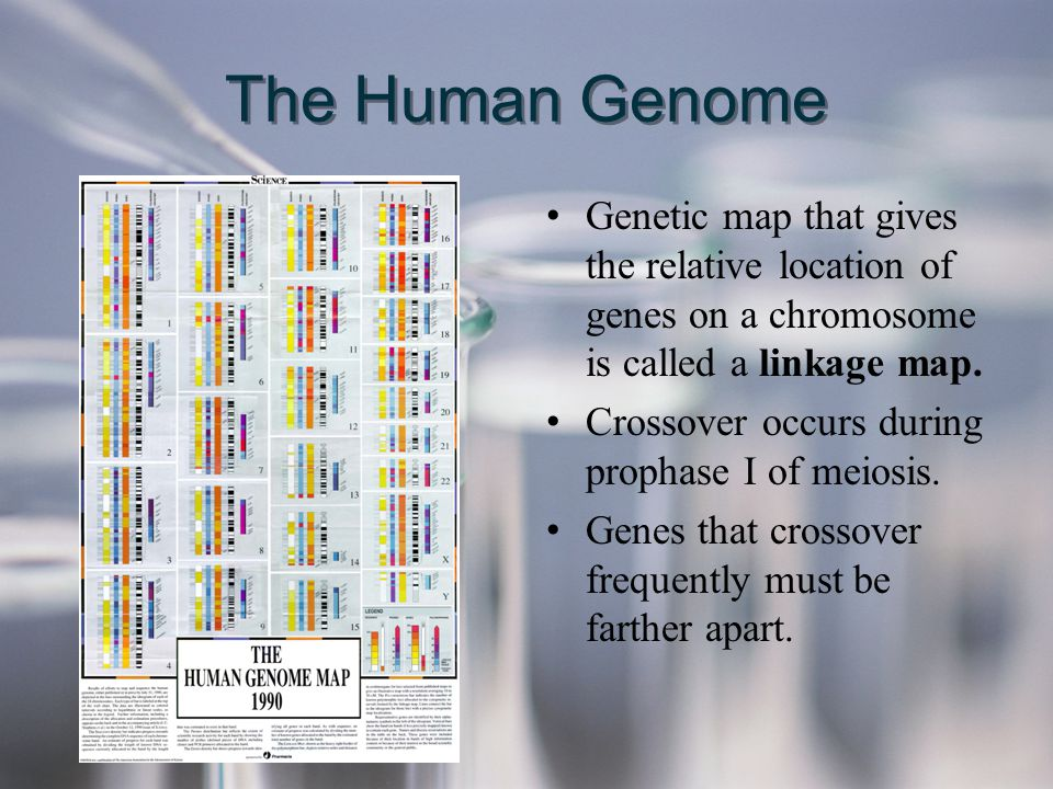 The Human Genome Genetic map that gives the relative location of genes on a chromosome is called a linkage map. Crossover occurs during prophase I of