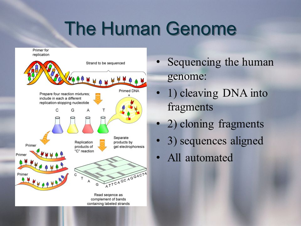 The Human Genome Sequencing the human genome: 1) cleaving DNA into fragments 2) cloning fragments 3) sequences aligned All automated Sequencing the hu