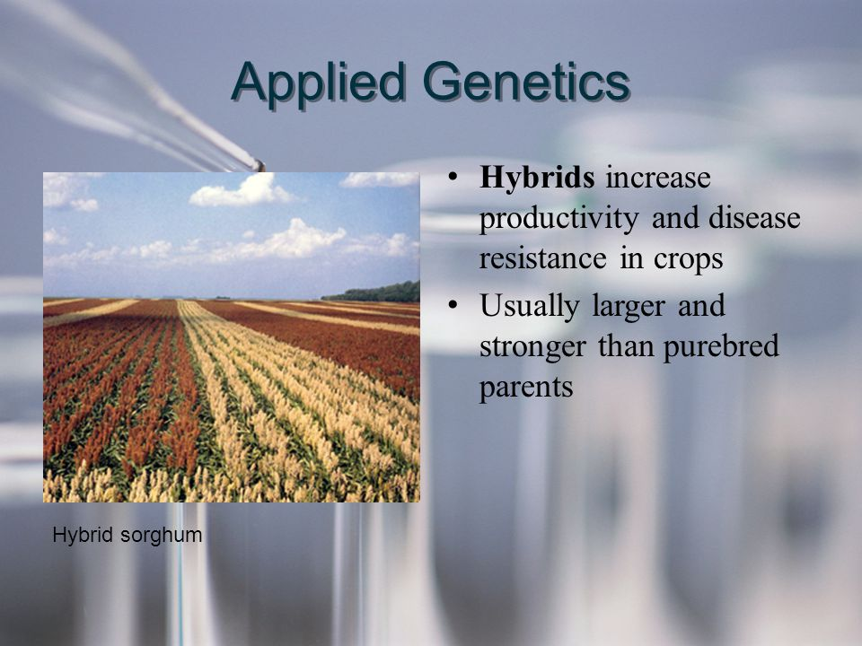 Applied Genetics Hybrids increase productivity and disease resistance in crops Usually larger and stronger than purebred parents Hybrids increase prod