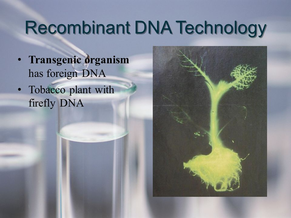 Transgenic organism has foreign DNA Tobacco plant with firefly DNA