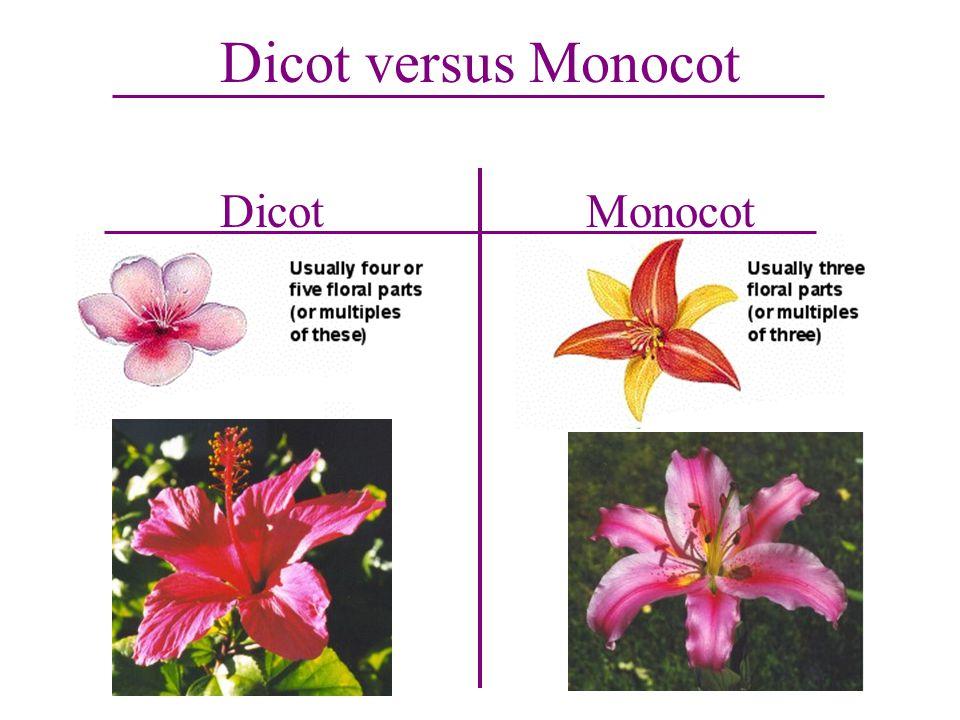 Dicot versus Monocot DicotMonocot