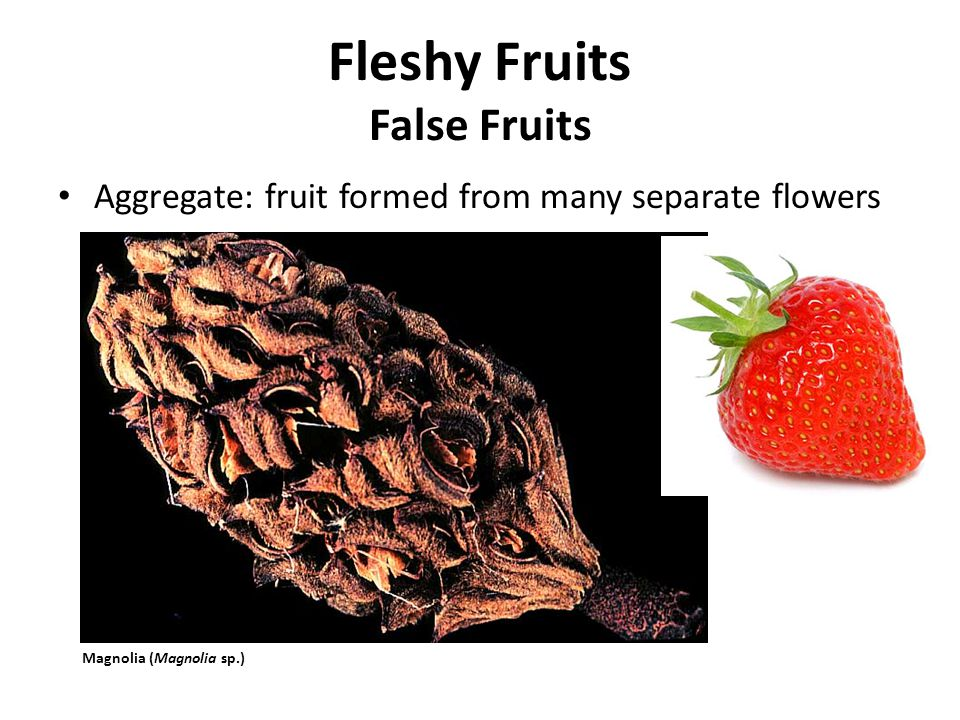 Aggregate: fruit formed from many separate flowers Fleshy Fruits False Fruits Magnolia (Magnolia sp.)