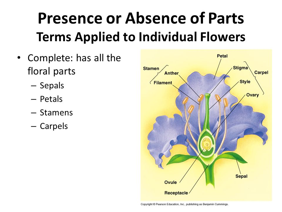 Presence or Absence of Parts Terms Applied to Individual Flowers Complete: has all the floral parts – Sepals – Petals – Stamens – Carpels