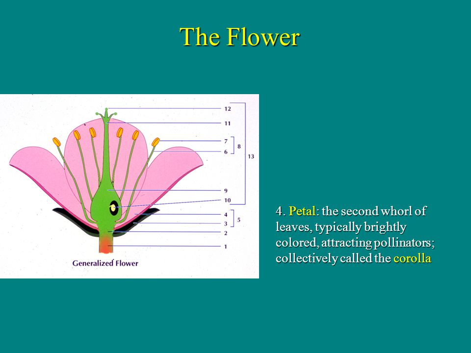 5. Perianth: collective term for sepals and petals Tepals if both similar The Flower