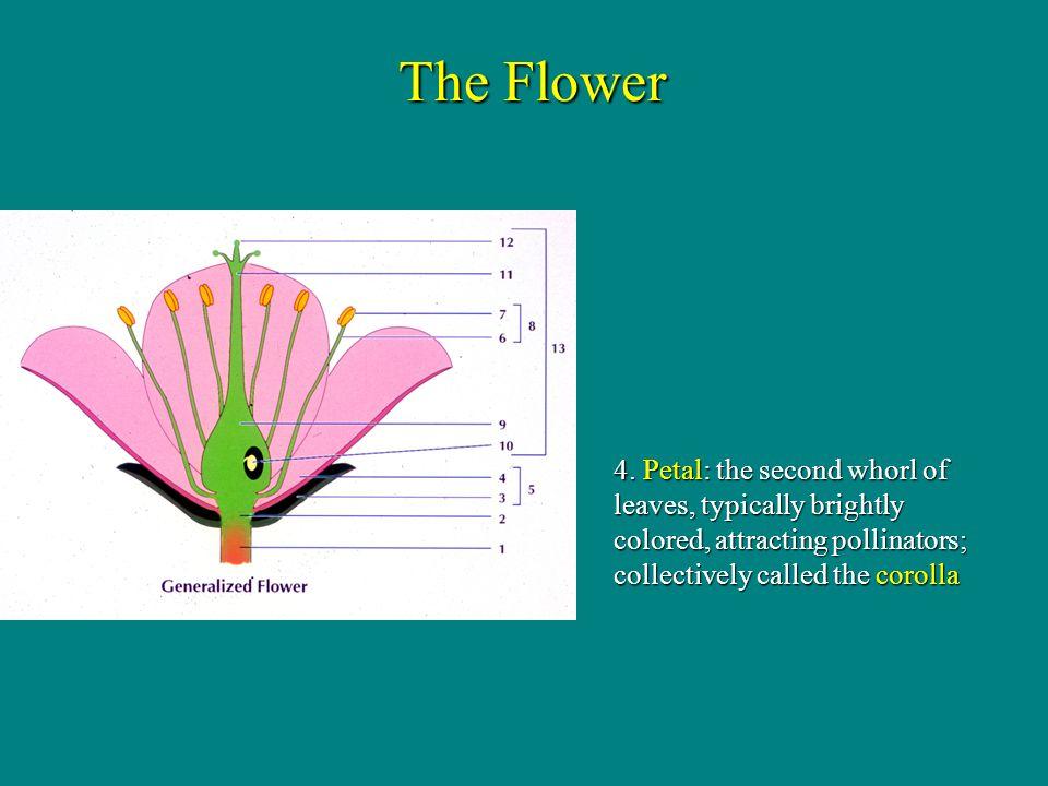 1 floral leaf in gynoecium This gynoecium is monocarpic (one carpel) Folded leaf 1 carpel = 1 pistil Monocarpic The Flower