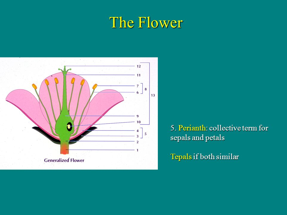 Adnation of calyx, corolla, & stamens = hypanthium The Flower Adnation: fusion of floral parts from different whorls