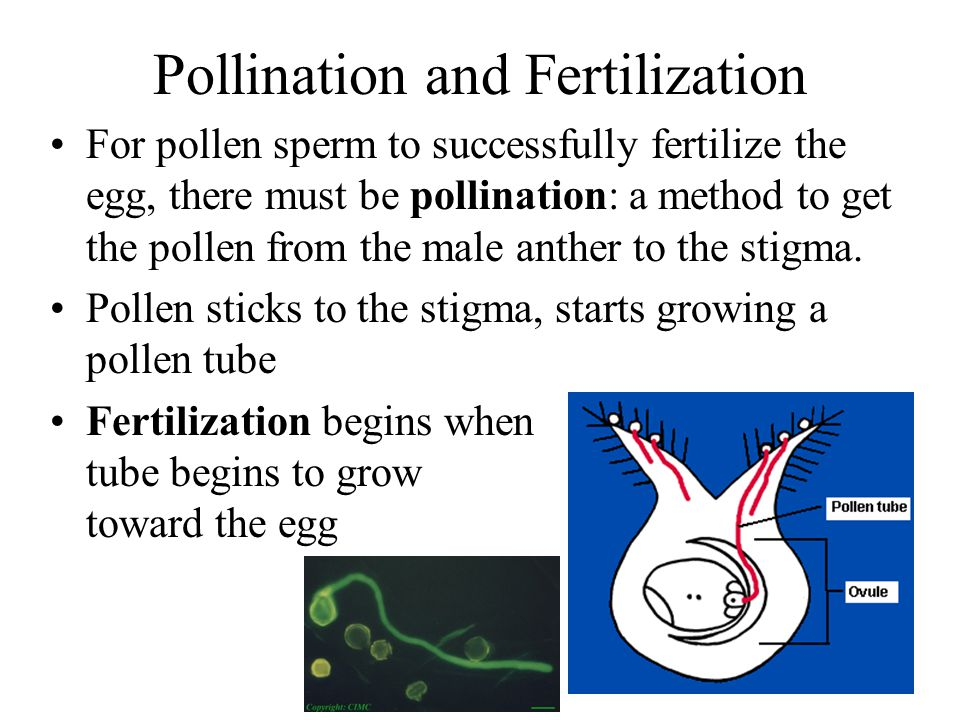 Pollination and Fertilization For pollen sperm to successfully fertilize the egg, there must be pollination: a method to get the pollen from the male