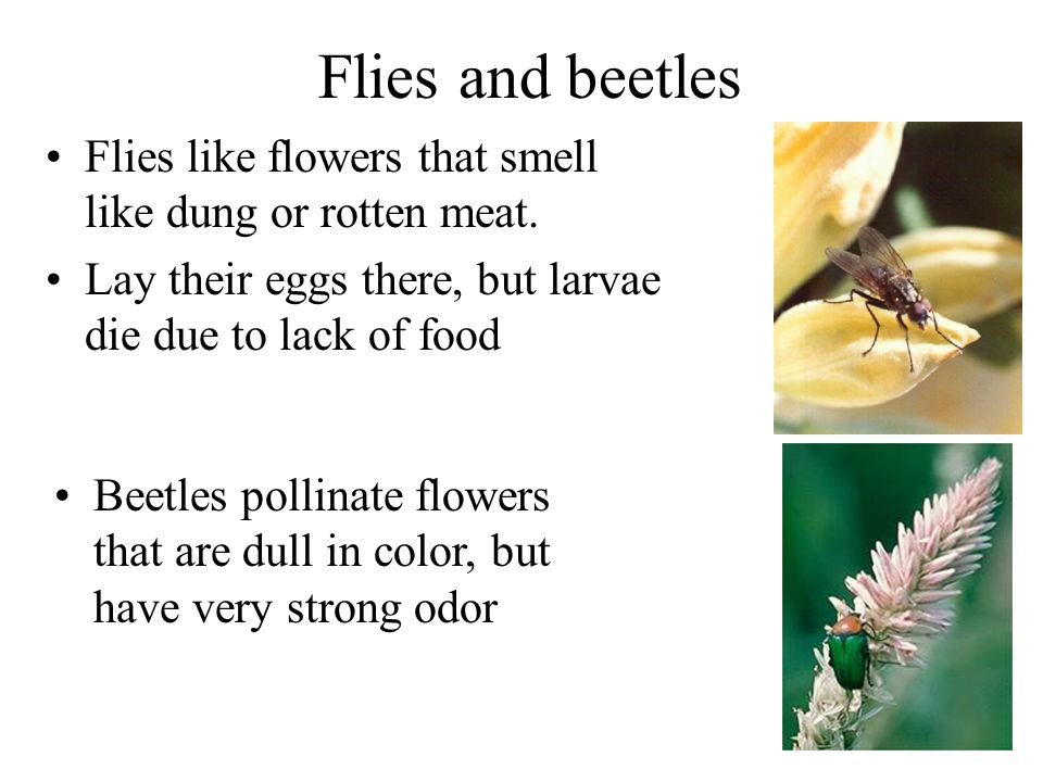 Flies and beetles Flies like flowers that smell like dung or rotten meat. Lay their eggs there, but larvae die due to lack of food Beetles pollinate f