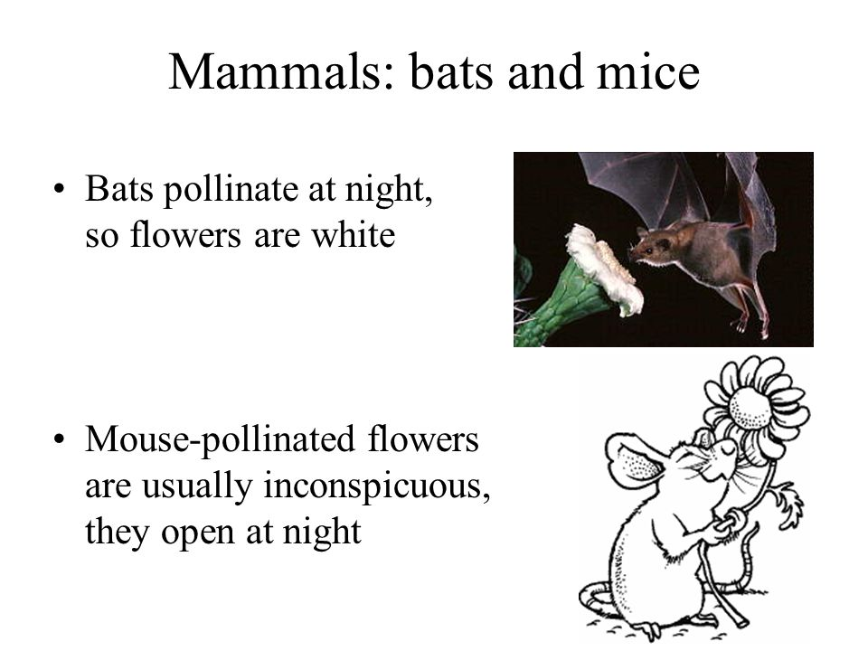 Mammals: bats and mice Bats pollinate at night, so flowers are white Mouse-pollinated flowers are usually inconspicuous, they open at night