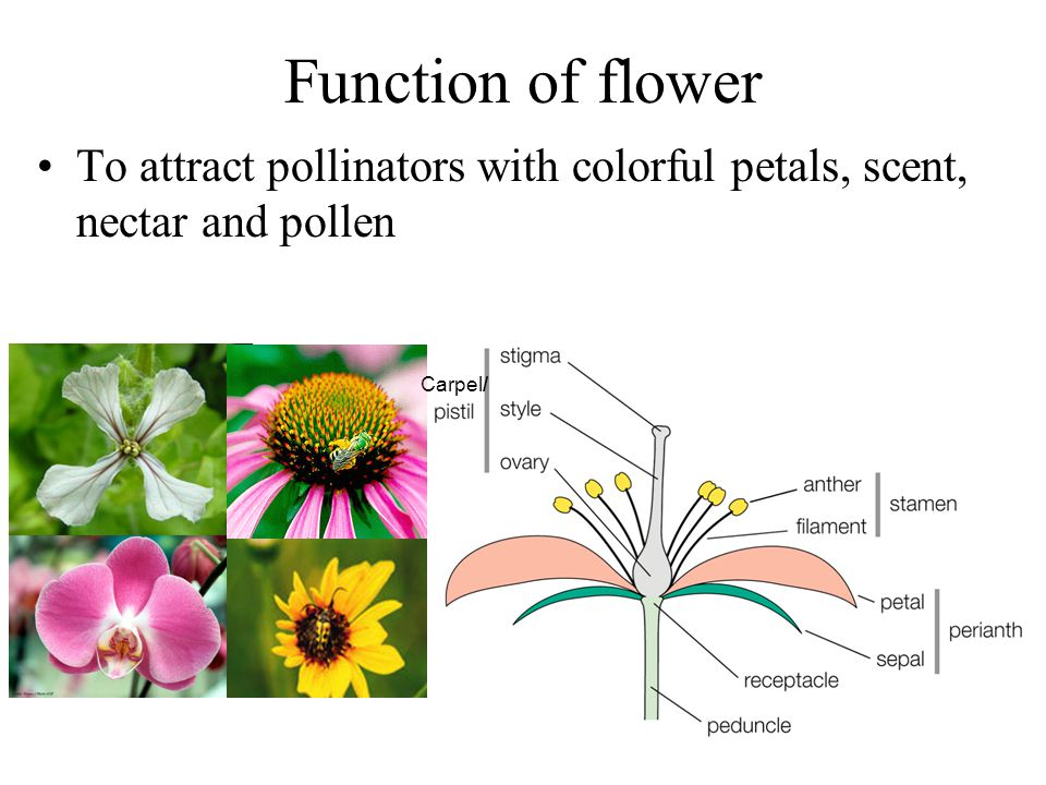 Function of flower To attract pollinators with colorful petals, scent, nectar and pollen Carpel /