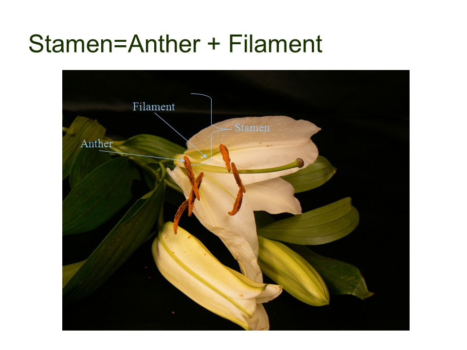 Stamen=Anther + Filament Filament Anther Stamen