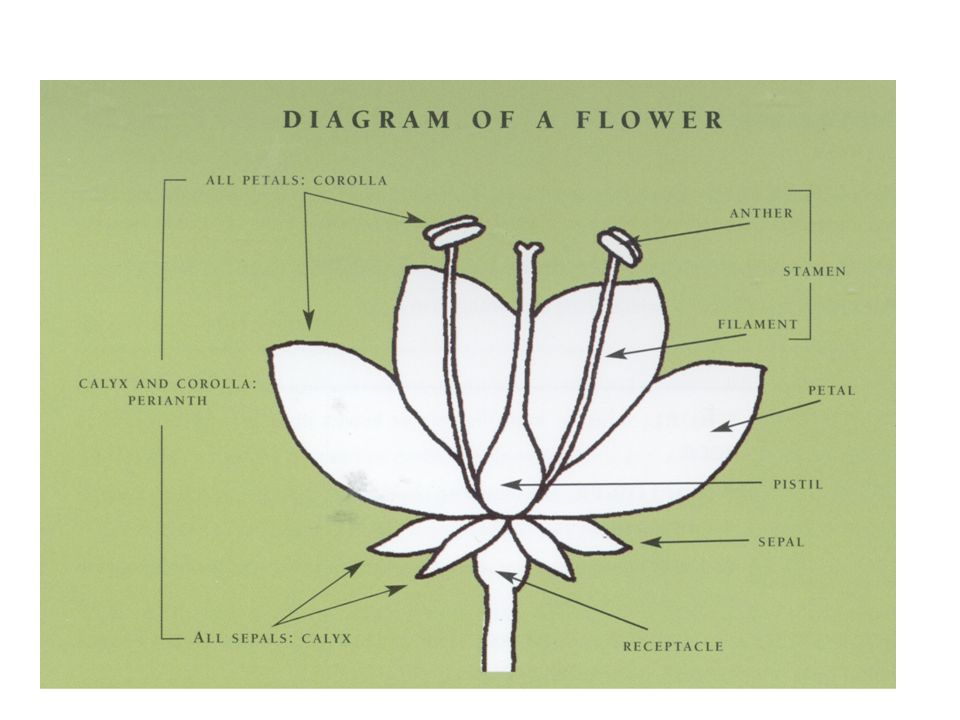 Flower Nomenclature Inflorescence patterns Spike Raceme Panicle Corymb Cyme Umbel Spadix spathe Catkin Head ray florets disc florets