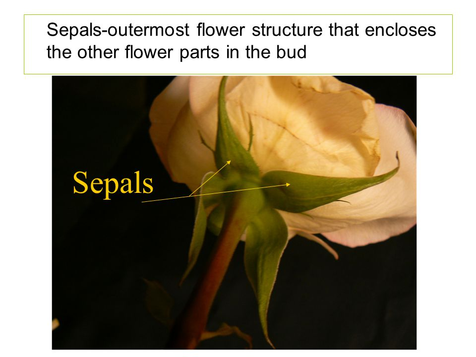 Sepals-outermost flower structure that encloses the other flower parts in the bud Sepals