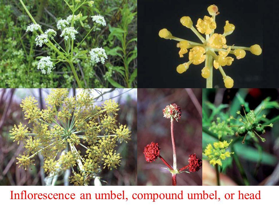 Inflorescence an umbel, compound umbel, or head