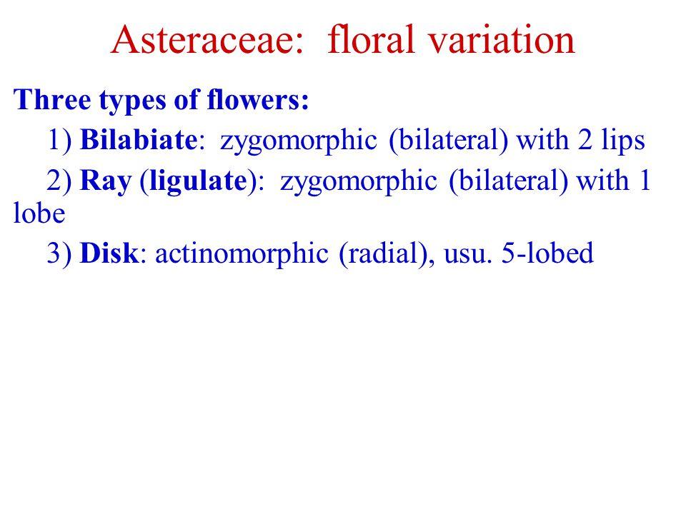Asteraceae: floral variation Three types of flowers: 1) Bilabiate: zygomorphic (bilateral) with 2 lips 2) Ray (ligulate): zygomorphic (bilateral) with