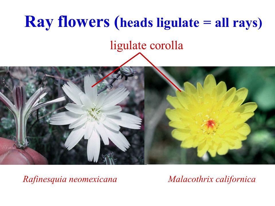 Ray flowers ( heads ligulate = all rays) Rafinesquia neomexicanaMalacothrix californica ligulate corolla
