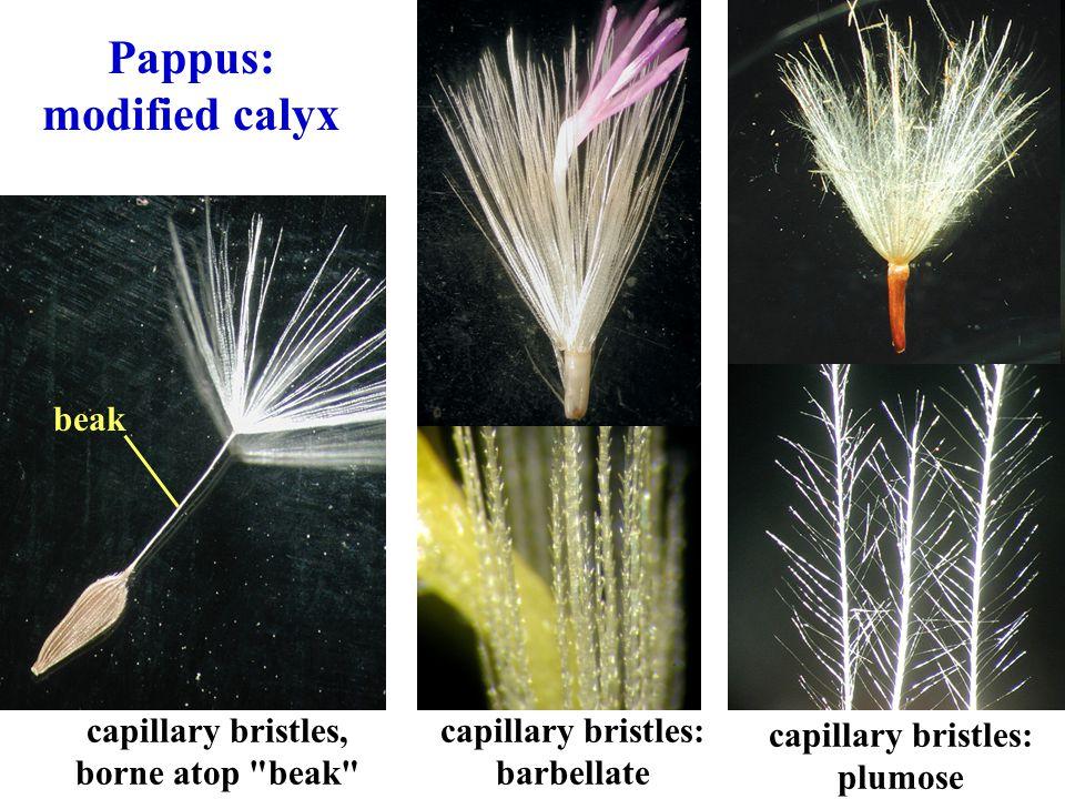 Pappus: modified calyx capillary bristles: barbellate capillary bristles: plumose beak capillary bristles, borne atop