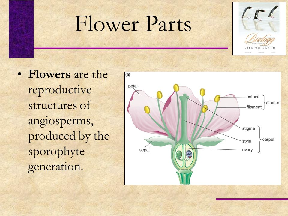 Each anther consists of four pollen sacs that contain microspore mother cells.