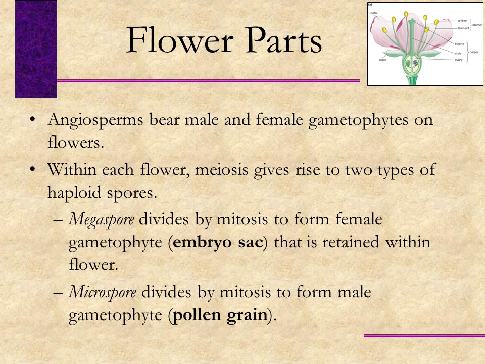 Each microspore divides by mitosis to form an immature male gametophyte consisting of two cells.