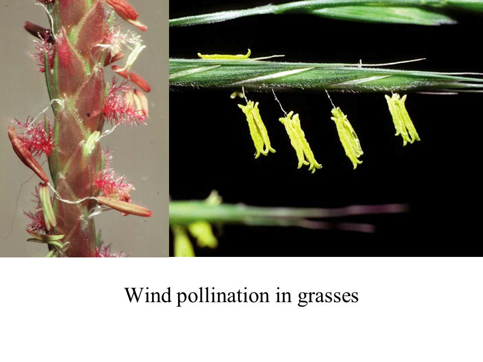 Wind pollination in grasses