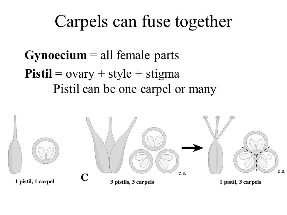Carpels can fuse together Gynoecium = all female parts Pistil = ovary + style + stigma Pistil can be one carpel or many