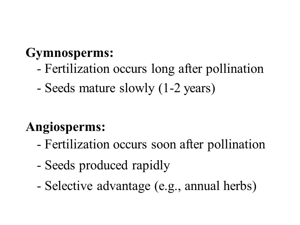 Gymnosperms: - Fertilization occurs long after pollination - Seeds mature slowly (1-2 years) Angiosperms: - Fertilization occurs soon after pollinatio