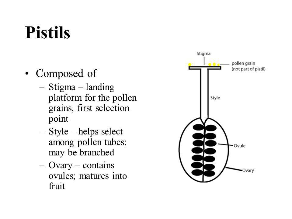 Pistils Composed of –Stigma – landing platform for the pollen grains, first selection point –Style – helps select among pollen tubes; may be branched