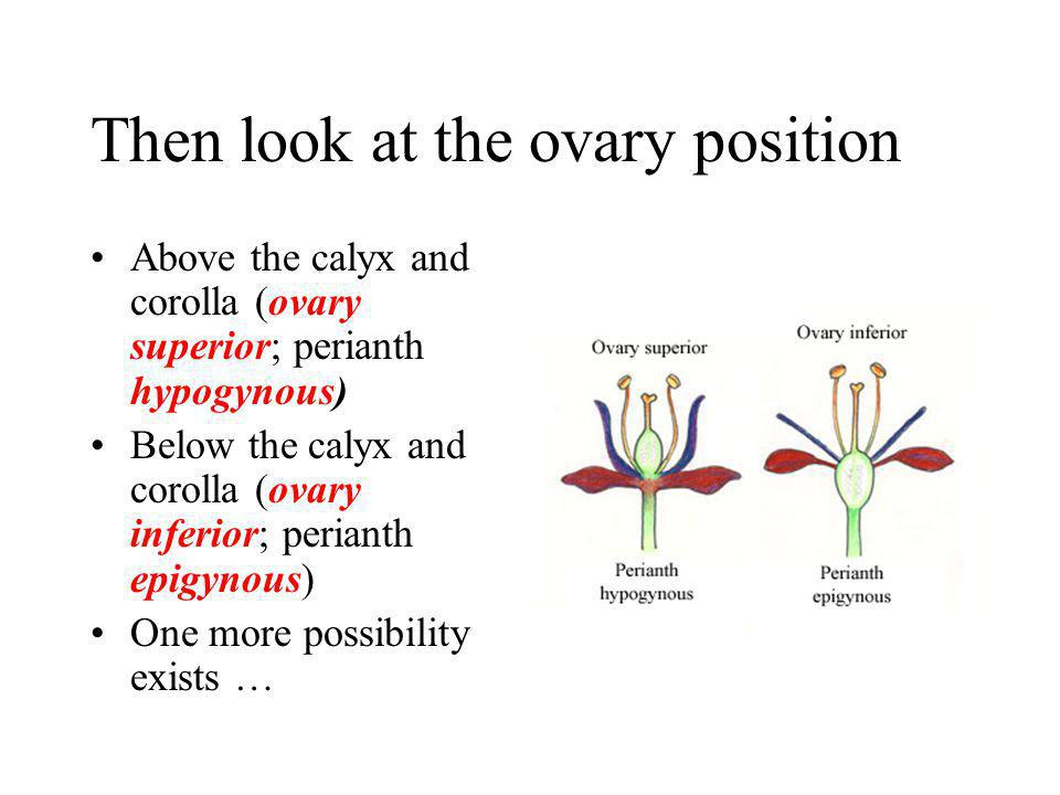 Then look at the ovary position Above the calyx and corolla (ovary superior; perianth hypogynous) Below the calyx and corolla (ovary inferior; periant