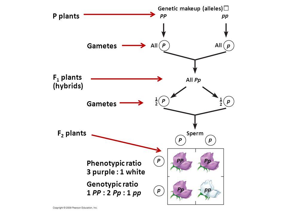 P plants 1–21–2 1–21–2 Genotypic ratio 1 PP : 2 Pp : 1 pp Phenotypic ratio 3 purple : 1 white F 1 plants (hybrids) Gametes Genetic makeup (alleles) All All Pp Sperm PP p ppPp P p P p P P p PP pp All Gametes F 2 plants