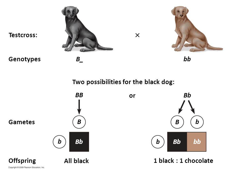 B_ or Two possibilities for the black dog: Testcross: Genotypes Gametes Offspring1 black : 1 chocolate All black Bb bb BB Bbbb B b Bb b b B