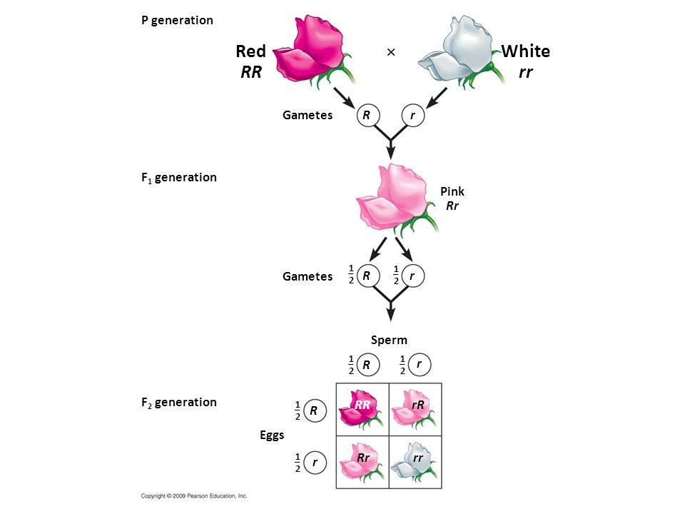 P generation 1–21–2 1–21–2 1–21–2 1–21–2 1–21–2 1–21–2 F 1 generation F 2 generation Red RR Gametes Eggs Sperm RR rR Rrrr R r R r R r Pink Rr R r White rr