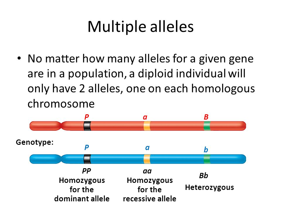 Multiple alleles No matter how many alleles for a given gene are in a population, a diploid individual will only have 2 alleles, one on each homologou