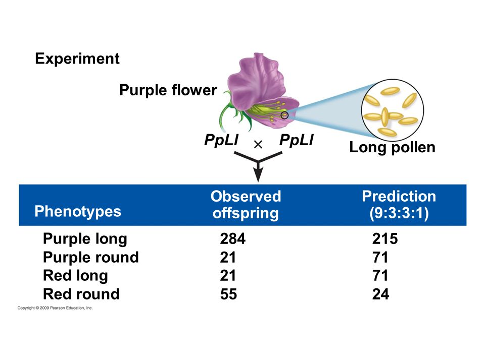 Purple long Purple round Red long Red round Experiment Purple flower PpLl Long pollen PpLl Prediction (9:3:3:1) Observed offspring Phenotypes 284 21 5