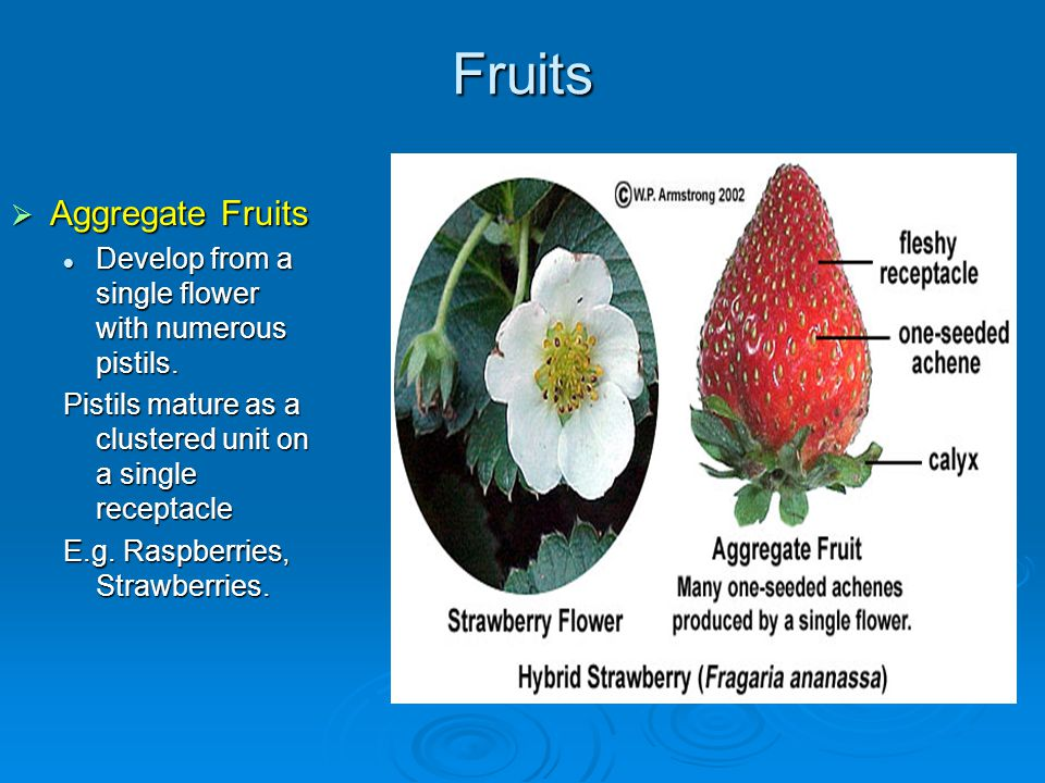 Fruits Aggregate Fruits Aggregate Fruits Develop from a single flower with numerous pistils. Develop from a single flower with numerous pistils. Pisti