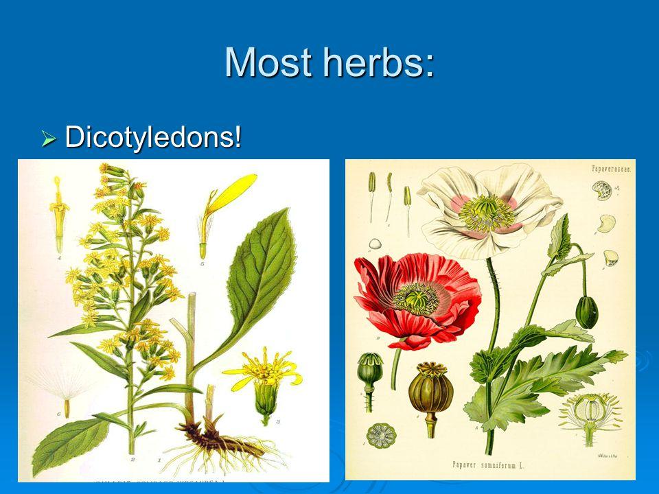 Most herbs: Dicotyledons! Dicotyledons!