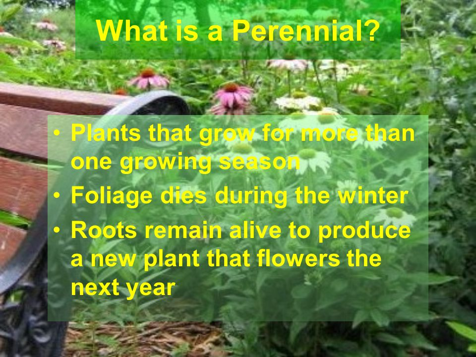Plants that grow for more than one growing season Foliage dies during the winter Roots remain alive to produce a new plant that flowers the next year