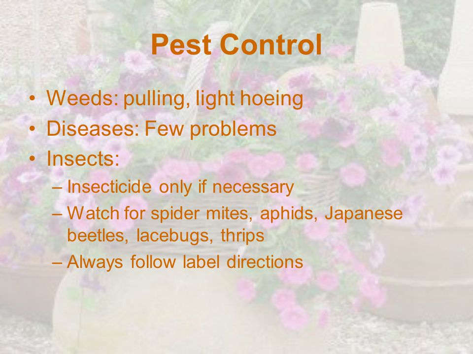 Pest Control Weeds: pulling, light hoeing Diseases: Few problems Insects: –Insecticide only if necessary –Watch for spider mites, aphids, Japanese bee