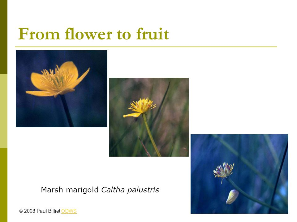 From flower to fruit Marsh marigold Caltha palustris © 2008 Paul Billiet ODWSODWS