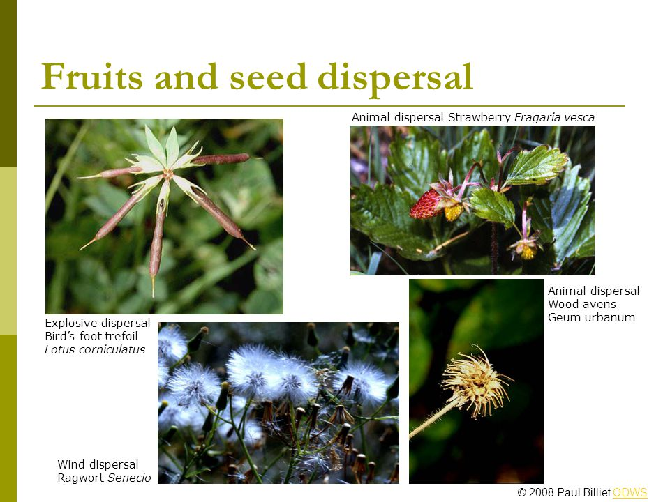 Fruits and seed dispersal Animal dispersal Strawberry Fragaria vesca Wind dispersal Ragwort Senecio Explosive dispersal Birds foot trefoil Lotus corniculatus Animal dispersal Wood avens Geum urbanum © 2008 Paul Billiet ODWSODWS